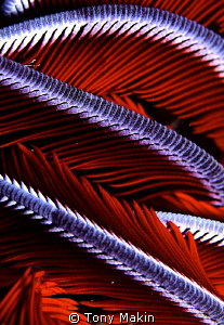 Feather star abstract by Tony Makin 